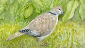 Collared Dove in garden watercolour, 2017