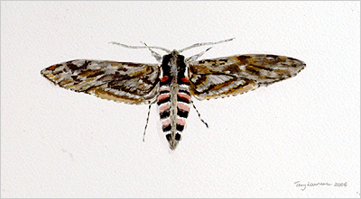 full view of watercolour - Privet Hawkmoth